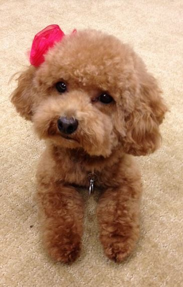 Pretty poodle puppy picture with cute little bow.JPG