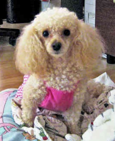 Pretty toy poodle photos.JPG
