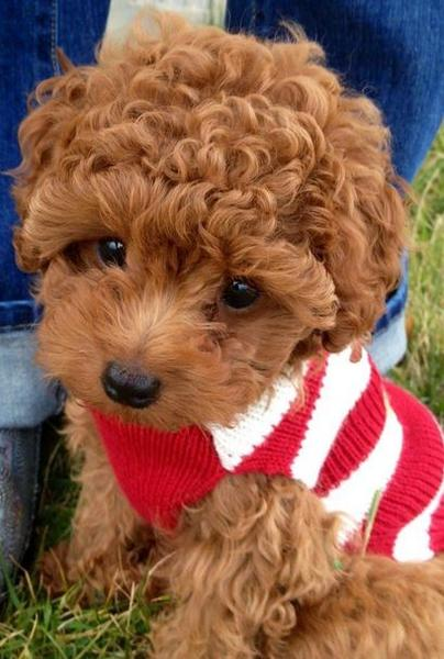 Red curly hair puppy picture of poodle dog.JPG