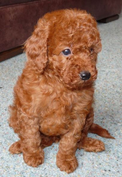 Red miniature poodle puppy picture.JPG