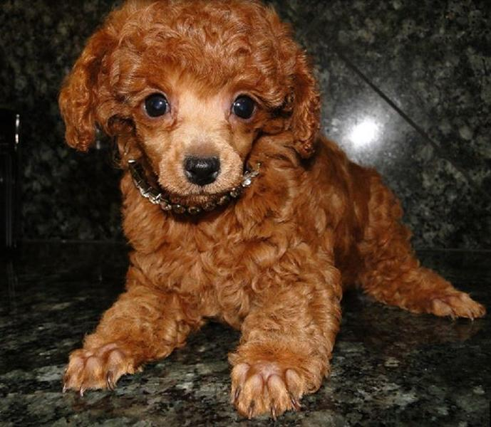 Red toy poodle puppy pictures.JPG