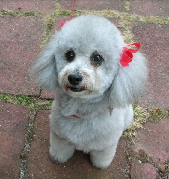 Silver poodle puppy with beautiful grooming cuts picture.JPG