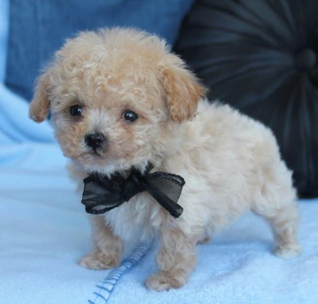 Small tan toy poodle puppy with black bow.JPG