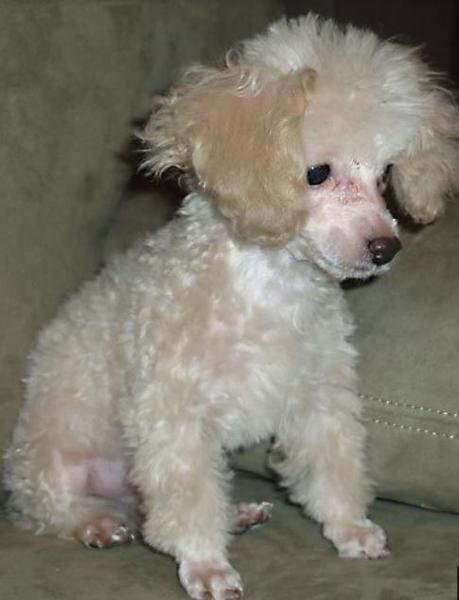 Small toy poodle puppy pictures.JPG