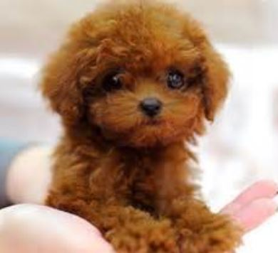 Smallest dog picture of brownish red teacup poodle pup.JPG