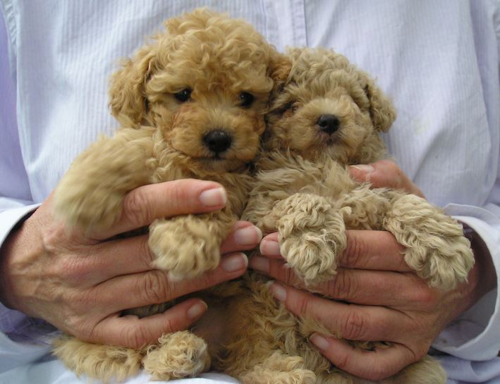 Tan miniature poodle puppies photo.JPG