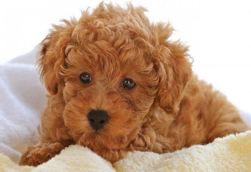 Tan poodle puppy poster photo.JPG