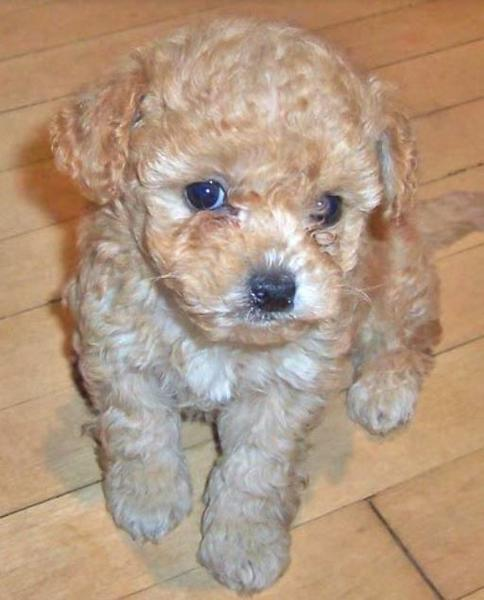 Tan poodle shih tzu mix puppy.JPG