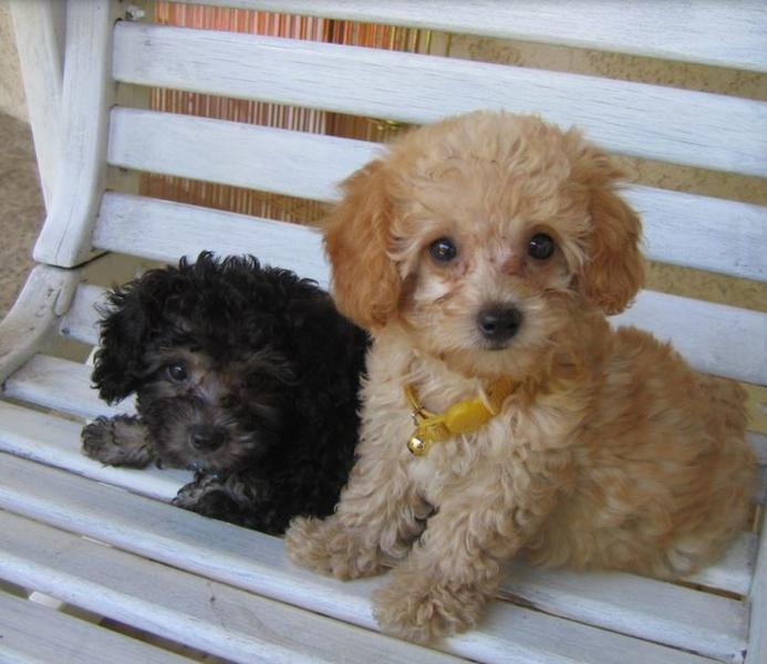Teacup poodle puppies pictures.JPG