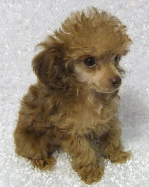 Teacup poodle puppy picture.JPG