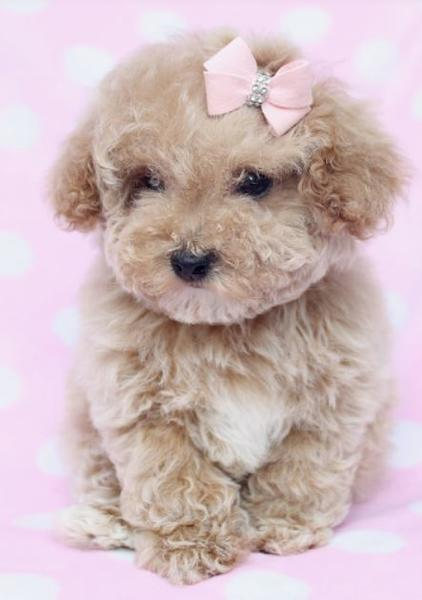 Poodle Puppies Pictures 118 Posted