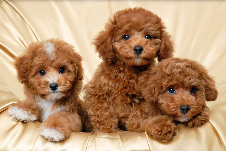 Three beautiful light brown poodle puppies poster photo.JPG