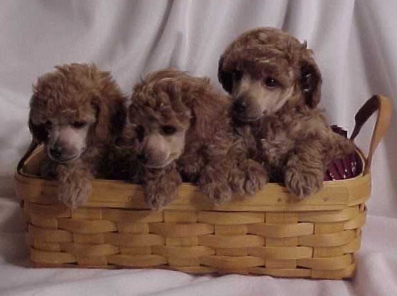 Three brown poodle puppies  in backet.JPG