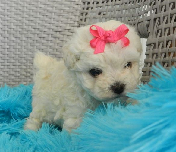 Tiny dogs picture of white teacup poodle puppy with the ...