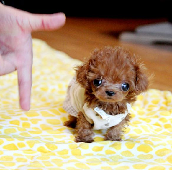 Tiny puppy picture of teacup poodle puppy photos.JPG