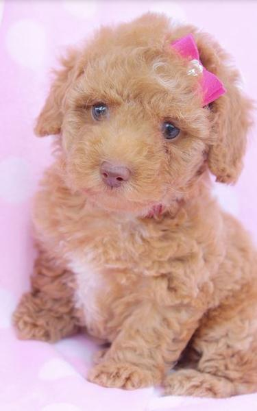 Tiny toy poodle puppy pictures.JPG