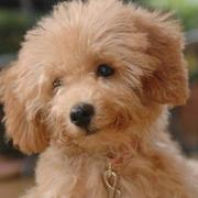 Toy poodle puppy in light brown with fluffy ears.JPG