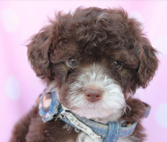 Two tones teacup toy poodle puppy picture.JPG