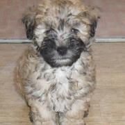 Unique mixed dogs picture of Lhasa Apso poodle mix in tan and black patterns.JPG