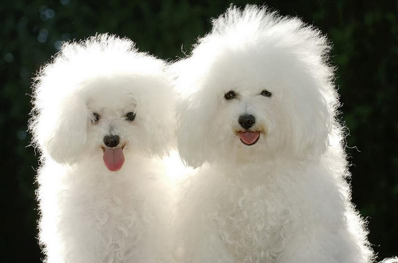 White poodle dogs with fuffy pur.JPG