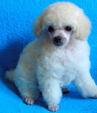 White toy poodle puppy with long fluffy pur.JPG