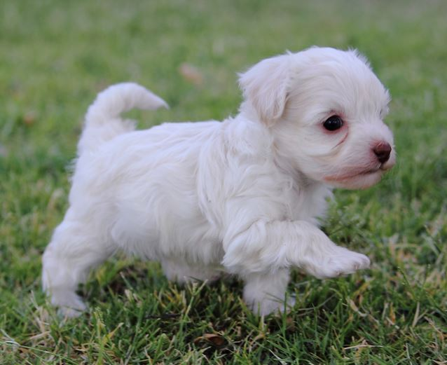 Young French poodle puppy playing on the grass.JPG
