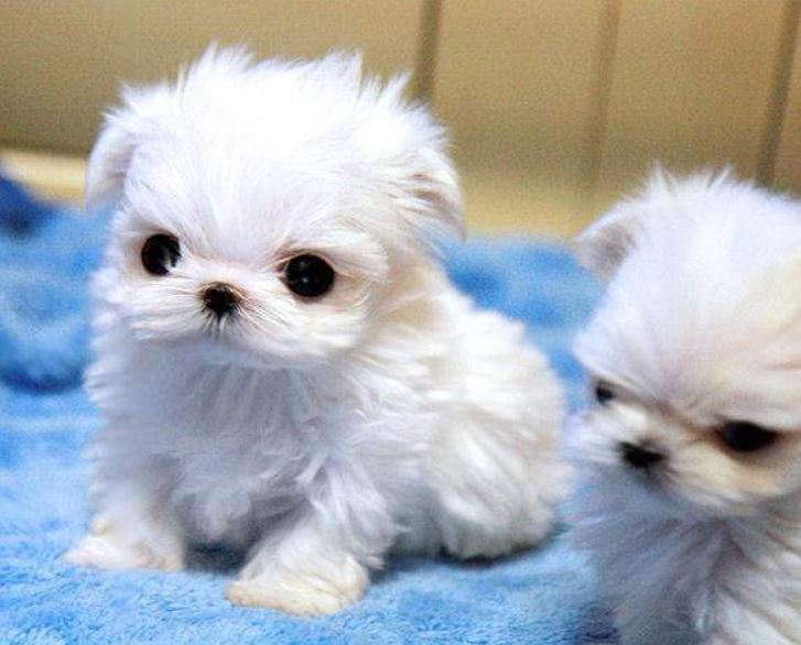Young Maltese Miniature Poodle Puppies in white.JPG