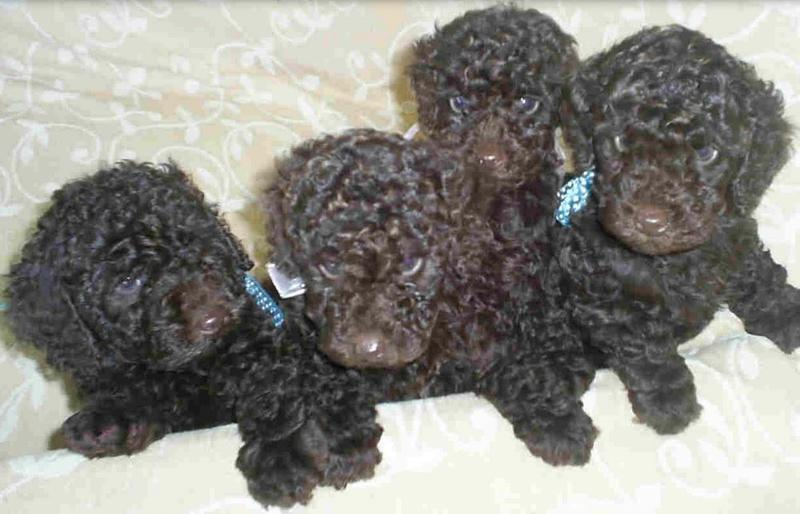 Young toy poodle puppies in black.JPG