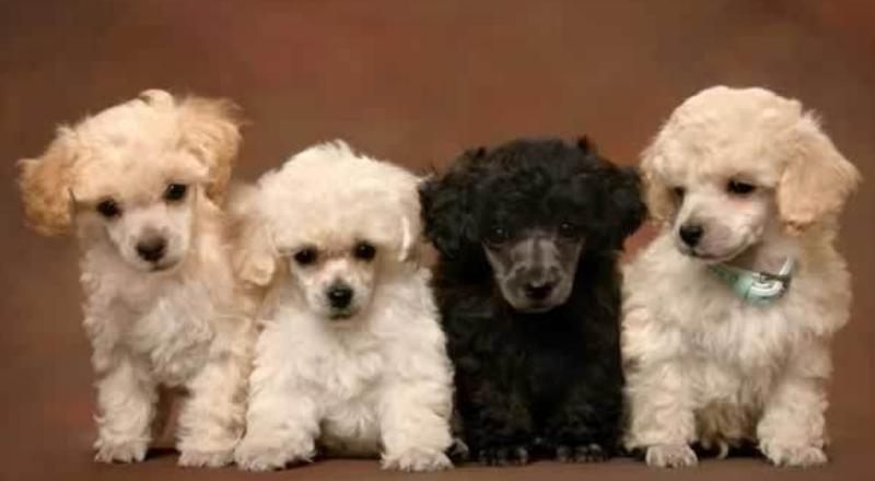 Group of poopdle puppies poster picture.JPG