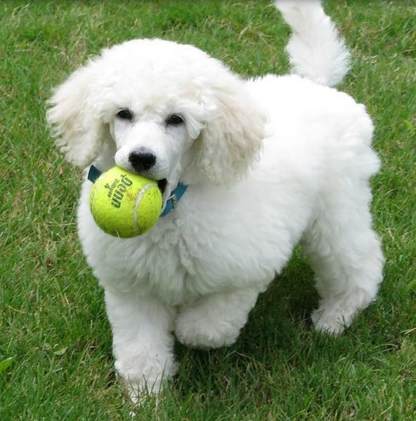 Large poodle puppy in white playing.JPG