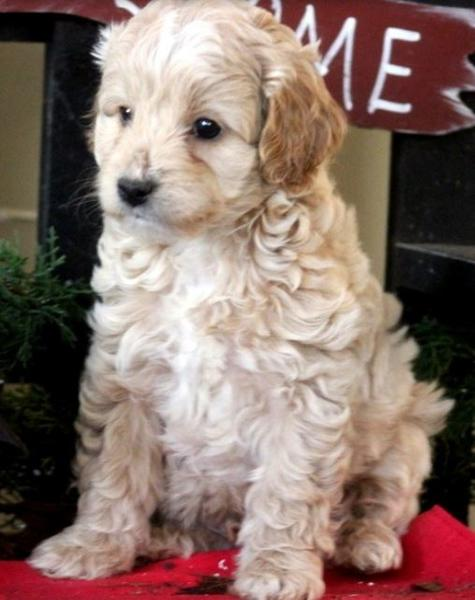 Large tan poodle mix puppy picture.JPG