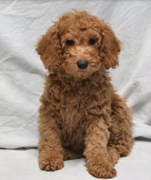 Miniature Brown Poodle