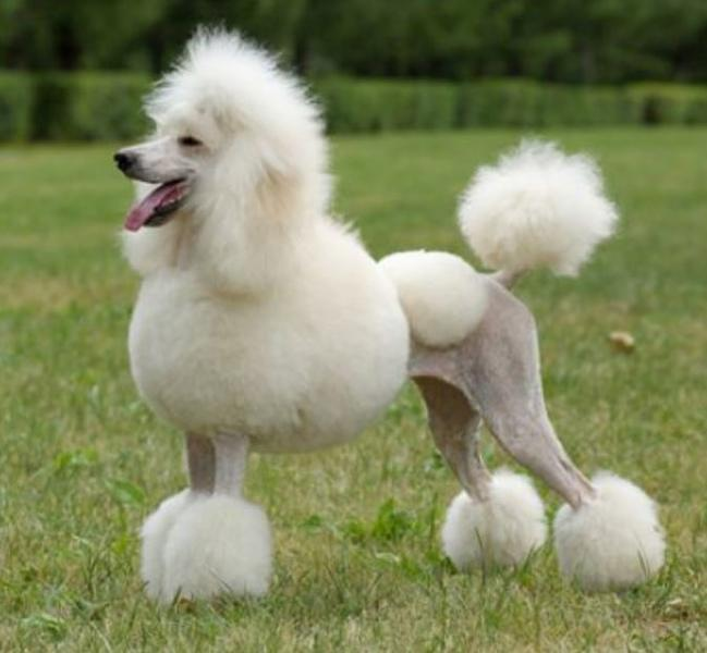 Beautiful French poodle dog picture in white.JPG