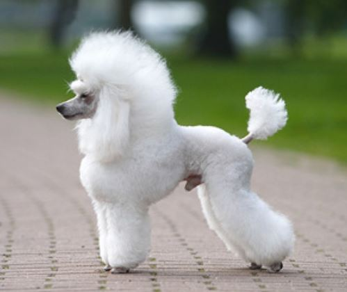 Beautiful French puppy picture of French poodle gorgeous trendy dog haircut.JPG