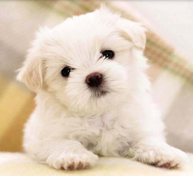 Beautiful little poodle pup in white.JPG
