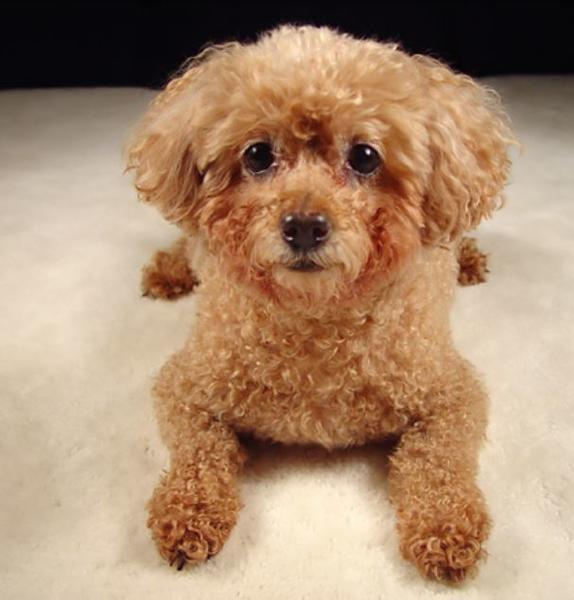 Beautiful miniature poodle in dark tan with large black eyes.JPG