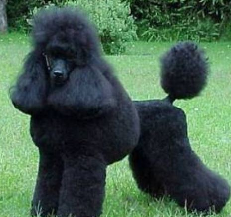 Beautiful poodle grooming cuts pictures.JPG