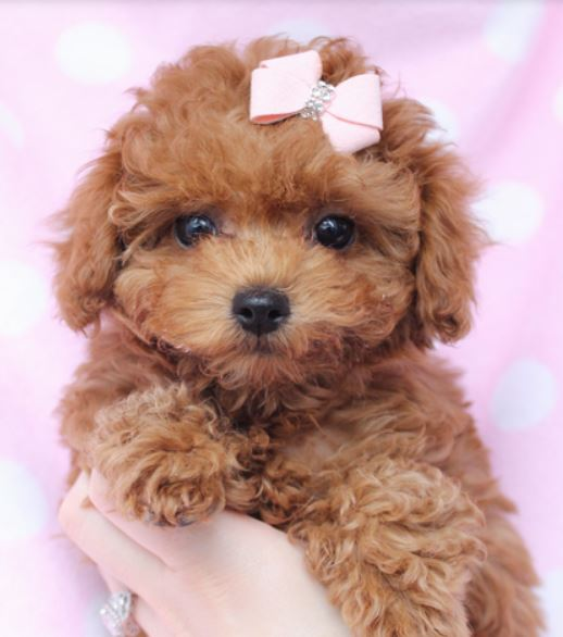 Beautiful puppy picture of little light brown toy poodle dog.JPG