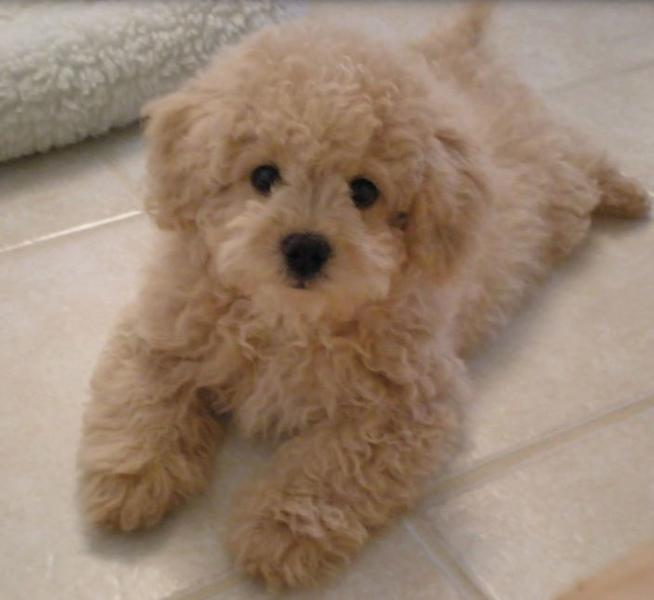 Bichon Frise Poodle mixed puppy picture.JPG