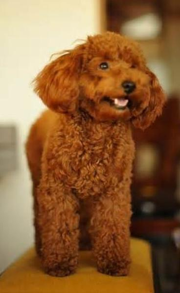 big toy poodle dog picture.JPG