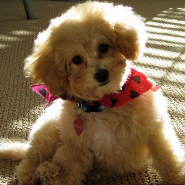Adorable puppy picture of Toy Poodle puppy with fluffy pur.JPG