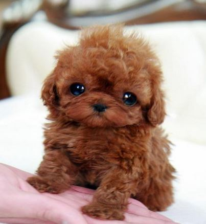 Baby teacup poodle puppy in redish brown color.JPG