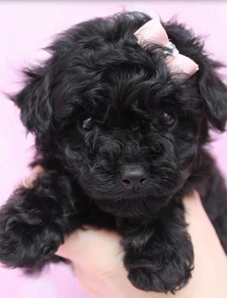 Beautiful black toy poodle pup iwearing a cute little bow in pink.JPG