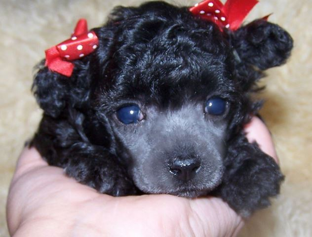 Beautiful black toy poodle puppy with cute red bows.JPG