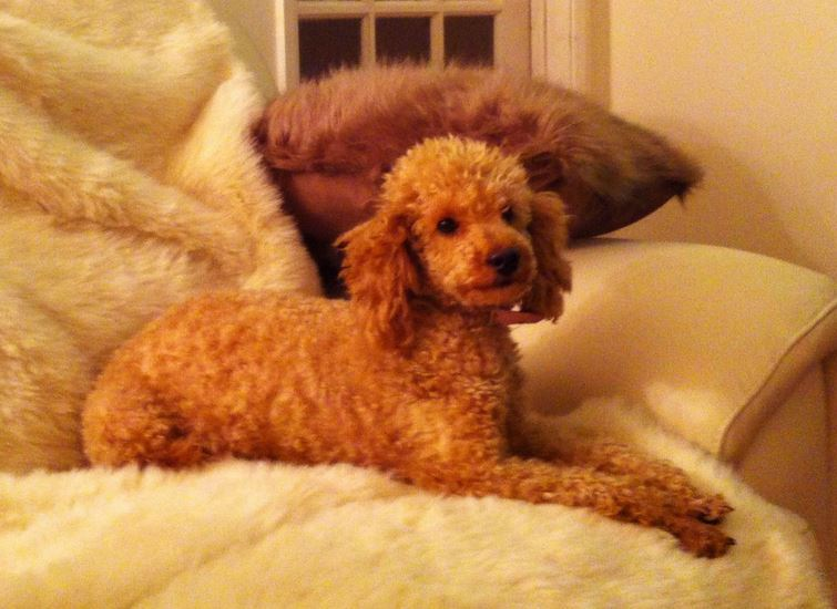 Beautiful brown Apricot Miniature Poodle Puppy.JPG