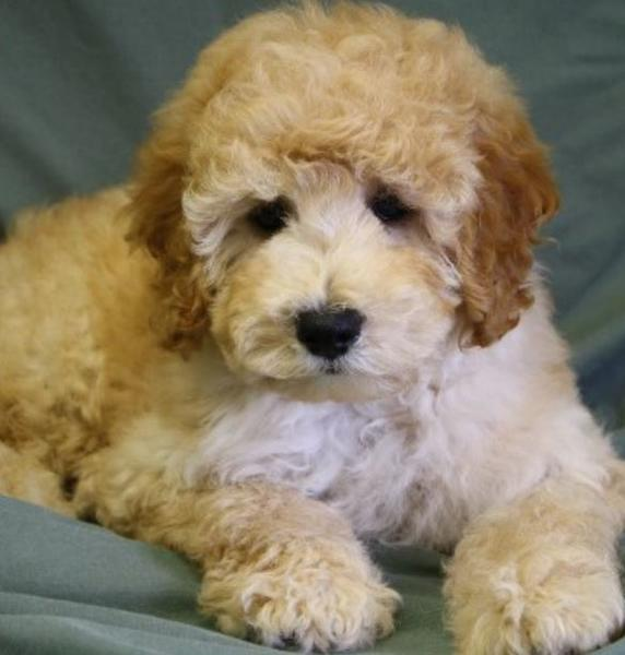 Beautiful dog picture of Bichon poodles.JPG