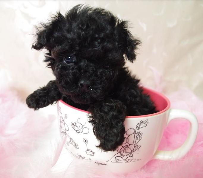 Cute puppy pictures of black toy poodle pups.JPG