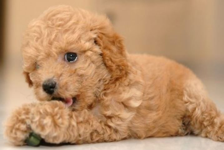 Cute young toy poodle puppy in dark tan.JPG