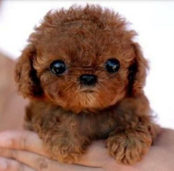 Cutest puppy photo of smallest poodle dog in redish brown with large black eyes.JPG