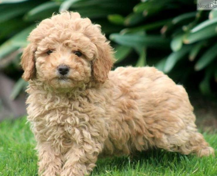 Dark tan miniature poodle puppy picture.JPG